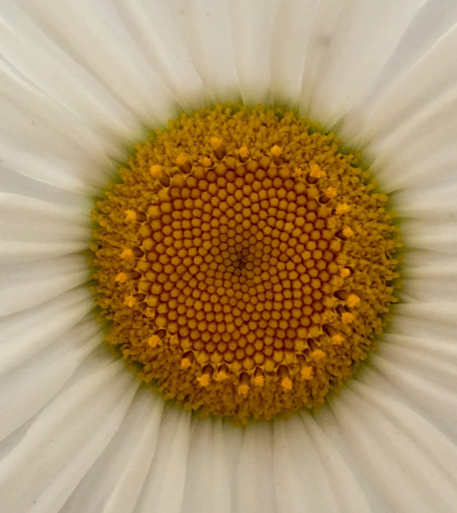 Daisy_up_close